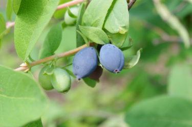ハスカップが不老長寿の果実と呼ばれるのはなぜ?